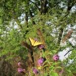 Plant a Butterfly Bush