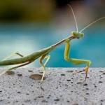 Praying for a Mantis