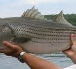 Stripers at Buggs Island