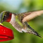Attracting Little Hummers