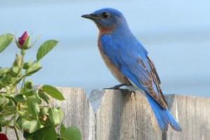 attract-bluebird