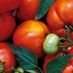 Abraham Lincoln Tomatoes