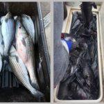 Striped Bass & Sea Bass News