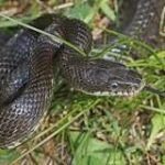 Blacksnakes and Copperheads