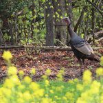 Spring Gobbler Harvest Encouraging