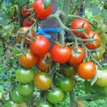 Cherry Tomatoes: Better Late Than Never