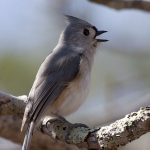 Tiny Little Titmice