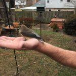 A Cedar Waxwing Visit