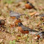 Robins Galore