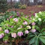 Lenten Rose in Full Bloom