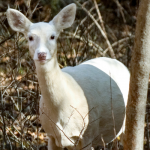 Not All White Deer Are Albinos