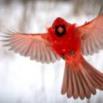 Cardinal Wars