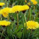 Dandy Little Dandelions