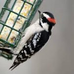 Beautiful, Little Downy Woodpeckers
