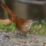 The Return of the Brown Thrashers