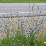 Common Chicory: Uncommon Beauty