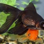 Now We Have Black Goldfish