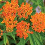 A Beautiful Butterfly Weed