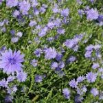Roadside Chicory