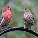 The Cheerful House Finch