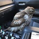 A Passenger Hawk