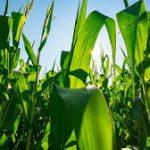 Jim's Corn Farm
