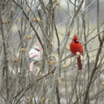 A White Winter Cardinal