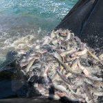 Stocking Catfish