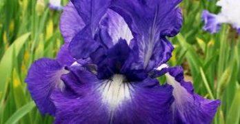 The Magnificent Iris
