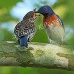 Welcome, Baby Bluebirds