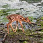 Crunch Time For Deer