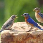 The World of Bluebirds