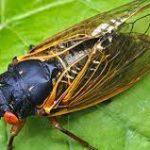 The Cicadas are Coming