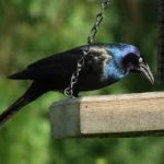 Plagued by Grackles