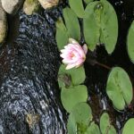 Finally: Blooms on Our Water Lilies