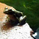 A Certified Frog Farmer