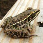 Frog Hanky Panky